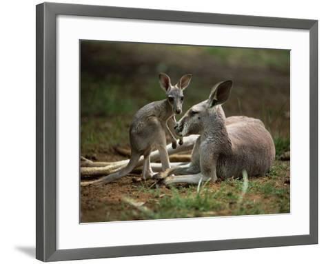 Mother and Young, Western Gray Kangaroos, Cleland Wildlife Park, South Australia, Australia-Neale Clarke-Framed Art Print