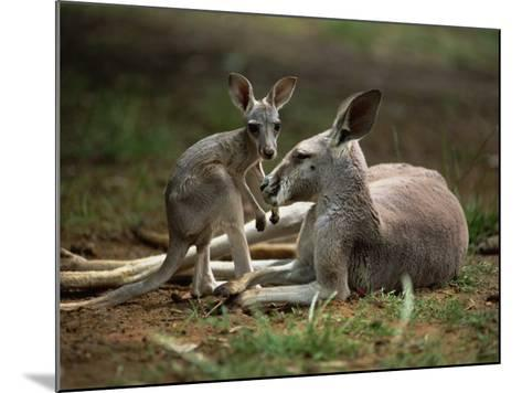 Mother and Young, Western Gray Kangaroos, Cleland Wildlife Park, South Australia, Australia-Neale Clarke-Mounted Photographic Print