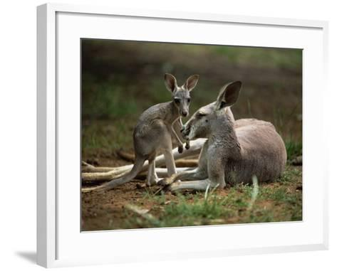 Mother and Young, Western Gray Kangaroos, Cleland Wildlife Park, South Australia, Australia-Neale Clarke-Framed Art Print
