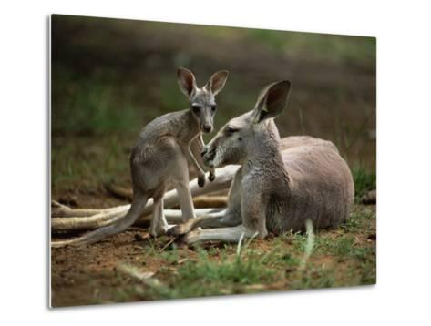Mother and Young, Western Gray Kangaroos, Cleland Wildlife Park, South Australia, Australia-Neale Clarke-Metal Print