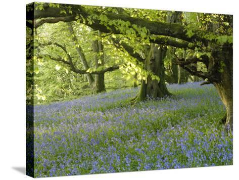 Bluebells in Carstramon Wood, Fleet Valley, Dumfries and Galloway, Scotland-Gary Cook-Stretched Canvas Print