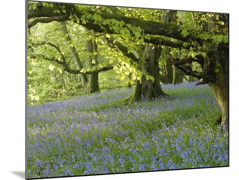 Bluebells in Carstramon Wood, Fleet Valley, Dumfries and Galloway, Scotland-Gary Cook-Mounted Photographic Print
