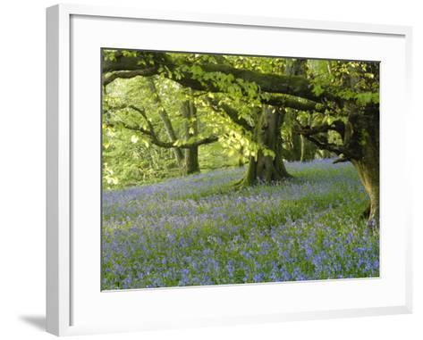 Bluebells in Carstramon Wood, Fleet Valley, Dumfries and Galloway, Scotland-Gary Cook-Framed Art Print