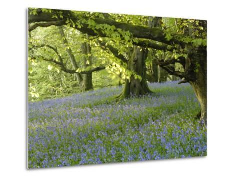 Bluebells in Carstramon Wood, Fleet Valley, Dumfries and Galloway, Scotland-Gary Cook-Metal Print