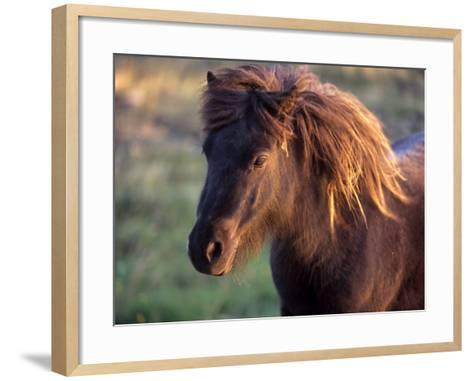 Shetland Pony, Unst, Shetland Islands, Scotland, United Kingdom, Europe-Patrick Dieudonne-Framed Art Print