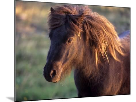 Shetland Pony, Unst, Shetland Islands, Scotland, United Kingdom, Europe-Patrick Dieudonne-Mounted Photographic Print