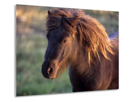 Shetland Pony, Unst, Shetland Islands, Scotland, United Kingdom, Europe-Patrick Dieudonne-Metal Print