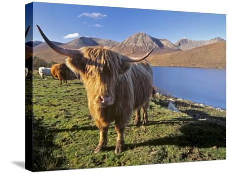 Highland Cattle, Loch Hainort and Red Cuillins, Isle of Skye, Inner Hebrides, Scotland-Patrick Dieudonne-Stretched Canvas Print