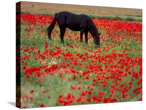 Black Horse in a Poppy Field, Chianti, Tuscany, Italy, Europe-Patrick Dieudonne-Stretched Canvas Print