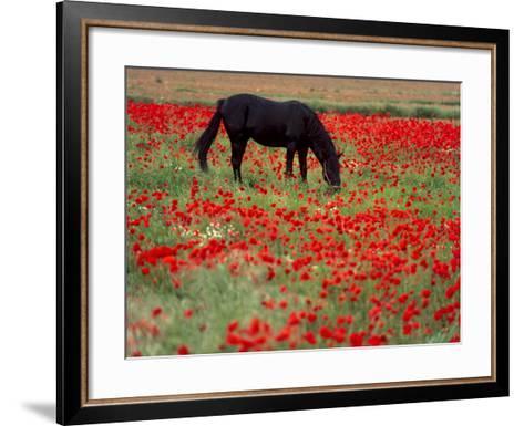 Black Horse in a Poppy Field, Chianti, Tuscany, Italy, Europe-Patrick Dieudonne-Framed Art Print