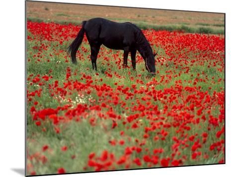 Black Horse in a Poppy Field, Chianti, Tuscany, Italy, Europe-Patrick Dieudonne-Mounted Photographic Print