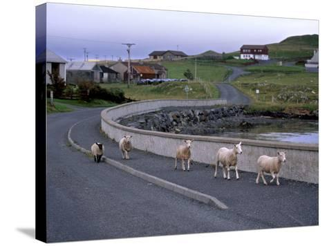 Sheep Rearing Is One of the Main Economic Activities in Shetland, Shetland Islands, Scotland, UK-Patrick Dieudonne-Stretched Canvas Print