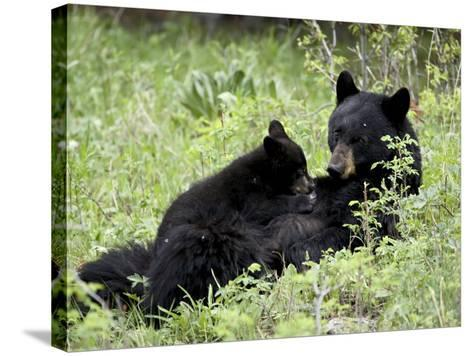 Black Bear Sow Nursing a Spring Cub, Yellowstone National Park, Wyoming, USA-James Hager-Stretched Canvas Print