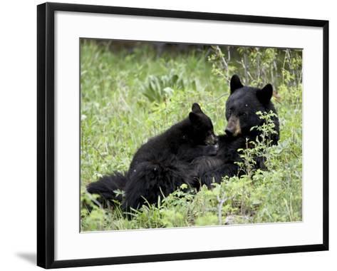 Black Bear Sow Nursing a Spring Cub, Yellowstone National Park, Wyoming, USA-James Hager-Framed Art Print