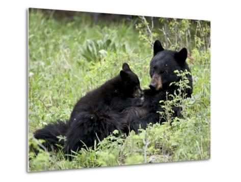 Black Bear Sow Nursing a Spring Cub, Yellowstone National Park, Wyoming, USA-James Hager-Metal Print