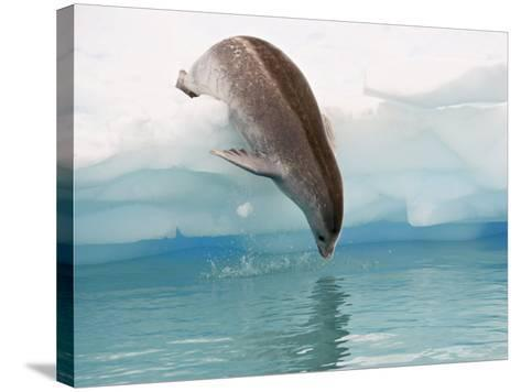 Crabeater Seal Diving into Water from an Iceberg, Pleneau Island, Antarctic Peninsula, Antarctica-James Hager-Stretched Canvas Print