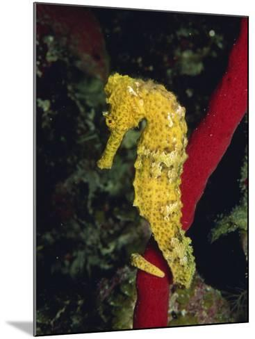 Sea Horse, Belize, Central America-James Gritz-Mounted Photographic Print
