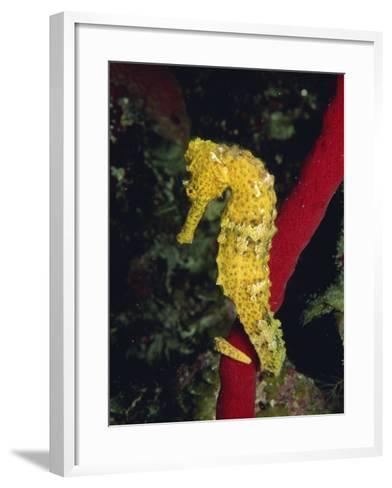 Sea Horse, Belize, Central America-James Gritz-Framed Art Print