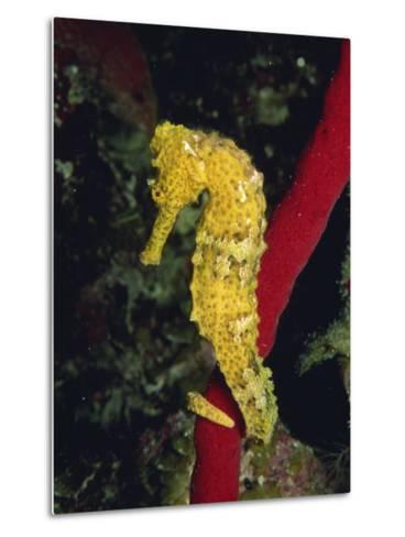 Sea Horse, Belize, Central America-James Gritz-Metal Print