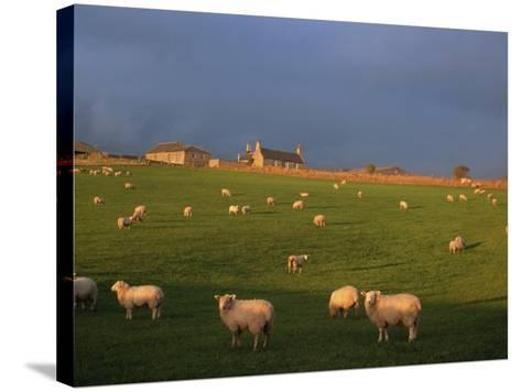 Flock of Sheep and Farmouse in Scottish Countryside, Scotland, United Kingdom, Europe-James Gritz-Stretched Canvas Print
