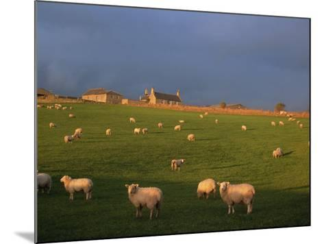 Flock of Sheep and Farmouse in Scottish Countryside, Scotland, United Kingdom, Europe-James Gritz-Mounted Photographic Print