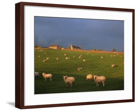 Flock of Sheep and Farmouse in Scottish Countryside, Scotland, United Kingdom, Europe-James Gritz-Framed Art Print