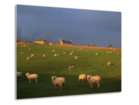 Flock of Sheep and Farmouse in Scottish Countryside, Scotland, United Kingdom, Europe-James Gritz-Metal Print