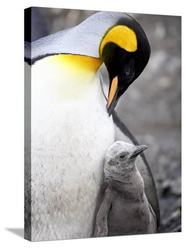 King Penguin Adult and First Season Chick, Salisbury Plain, South Georgia-James Hager-Stretched Canvas Print