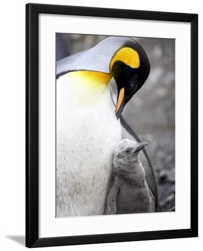 King Penguin Adult and First Season Chick, Salisbury Plain, South Georgia-James Hager-Framed Art Print