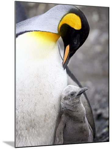 King Penguin Adult and First Season Chick, Salisbury Plain, South Georgia-James Hager-Mounted Photographic Print
