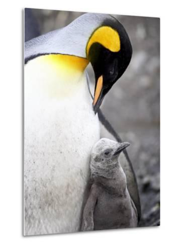 King Penguin Adult and First Season Chick, Salisbury Plain, South Georgia-James Hager-Metal Print