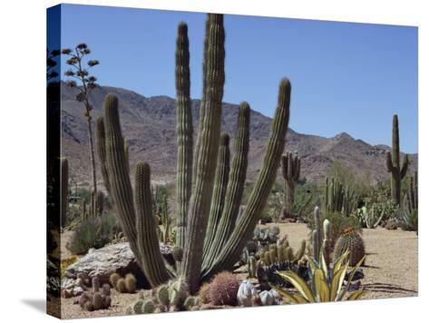 Cactus Plants, Arizona, United States of America, North America-Ursula Gahwiler-Stretched Canvas Print