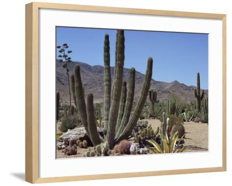 Cactus Plants, Arizona, United States of America, North America-Ursula Gahwiler-Framed Art Print
