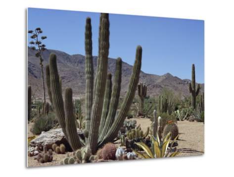 Cactus Plants, Arizona, United States of America, North America-Ursula Gahwiler-Metal Print