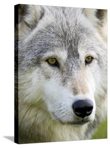 Gray Wolf in Captivity, Sandstone, Minnesota, United States of America, North America-James Hager-Stretched Canvas Print