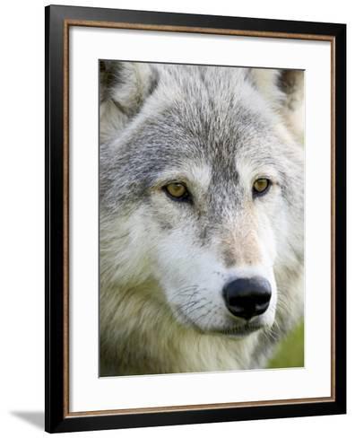 Gray Wolf in Captivity, Sandstone, Minnesota, United States of America, North America-James Hager-Framed Art Print