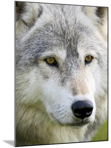 Gray Wolf in Captivity, Sandstone, Minnesota, United States of America, North America-James Hager-Mounted Photographic Print