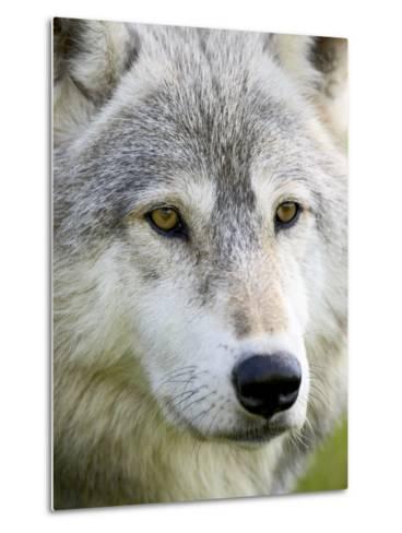 Gray Wolf in Captivity, Sandstone, Minnesota, United States of America, North America-James Hager-Metal Print