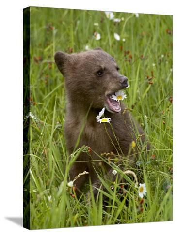 Grizzly Bear Cub in Captivity, Eating an Oxeye Daisy Flower, Sandstone, Minnesota, USA-James Hager-Stretched Canvas Print