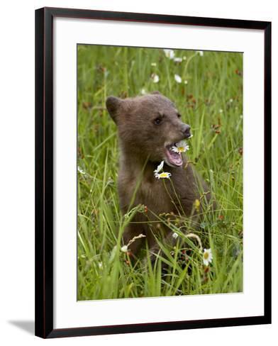 Grizzly Bear Cub in Captivity, Eating an Oxeye Daisy Flower, Sandstone, Minnesota, USA-James Hager-Framed Art Print