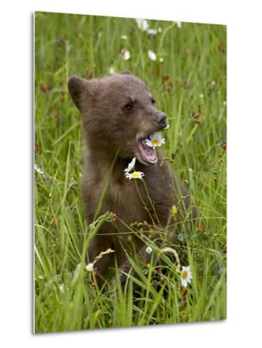 Grizzly Bear Cub in Captivity, Eating an Oxeye Daisy Flower, Sandstone, Minnesota, USA-James Hager-Metal Print