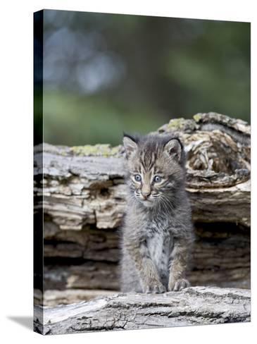 Siberian Lynx Kitten, Sandstone, Minnesota, USA-James Hager-Stretched Canvas Print