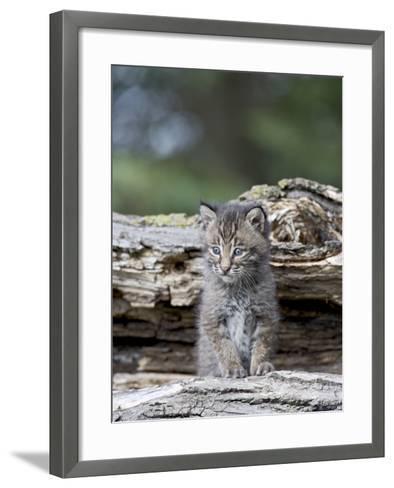 Siberian Lynx Kitten, Sandstone, Minnesota, USA-James Hager-Framed Art Print