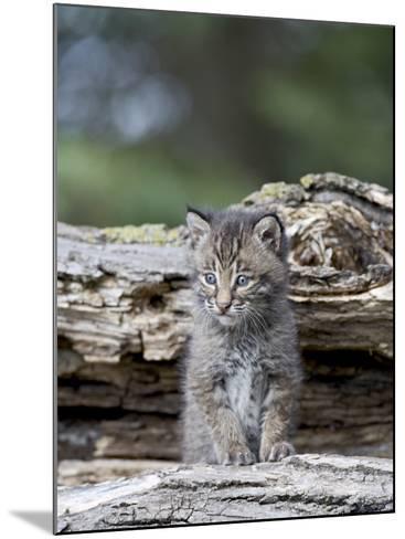 Siberian Lynx Kitten, Sandstone, Minnesota, USA-James Hager-Mounted Photographic Print
