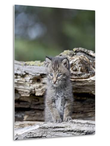 Siberian Lynx Kitten, Sandstone, Minnesota, USA-James Hager-Metal Print