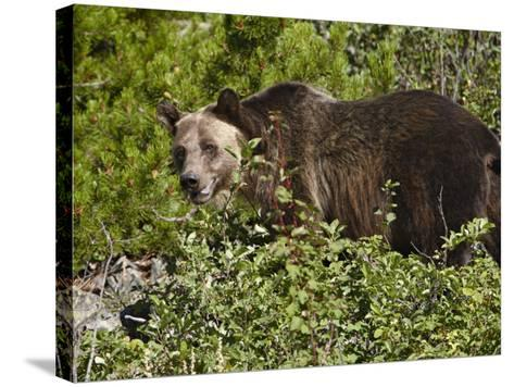 Grizzly Bear, Glacier National Park, Montana, USA-James Hager-Stretched Canvas Print