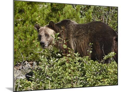 Grizzly Bear, Glacier National Park, Montana, USA-James Hager-Mounted Photographic Print