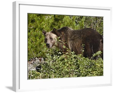 Grizzly Bear, Glacier National Park, Montana, USA-James Hager-Framed Art Print