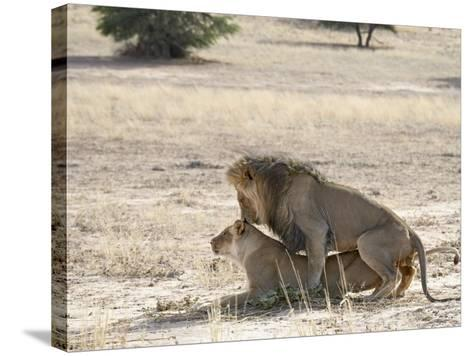 Lion Mating, Kgalagadi Transfrontier Park, South Africa-James Hager-Stretched Canvas Print