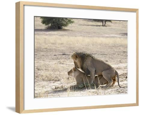 Lion Mating, Kgalagadi Transfrontier Park, South Africa-James Hager-Framed Art Print